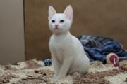 Wera - kotka Afrodyty (krótkowłosa)