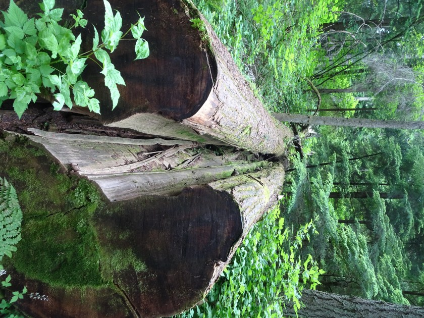 vancouver stanley park (5) sequoia