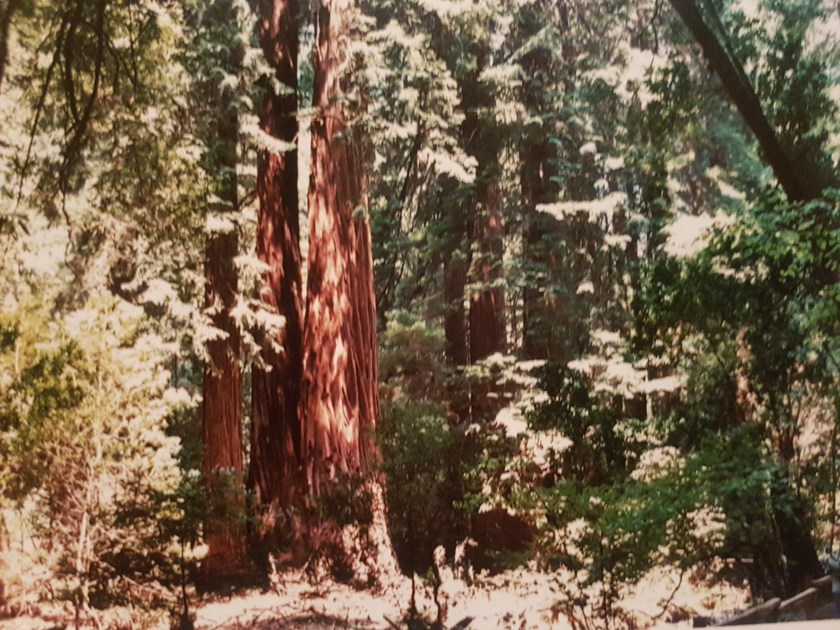 muir woods sausalito california (1)