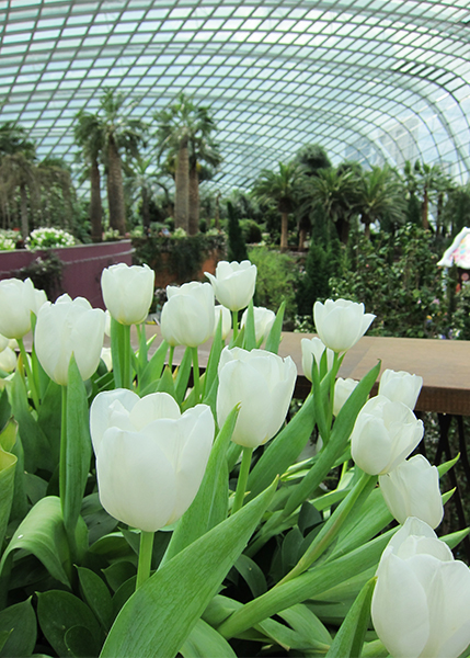 White tulip arrangements at the entrance of the Flower Dome.