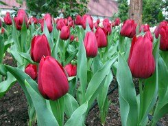 Red tulips gives a passionate feel.. or a sense of patriotism?