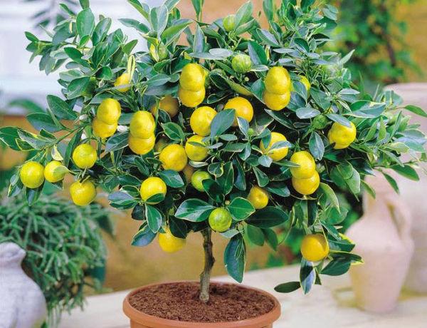 Нужно ли прищипывать лимон комнатный. Как обрезать лимон своими руками — фото, схема, советы эксперта
