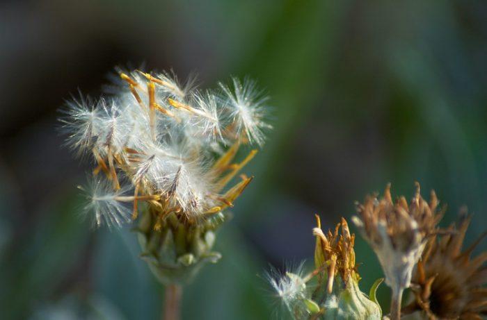 Гацания после цветения