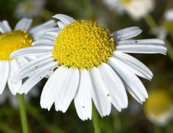 Ромашка аптечная Matricaria chamomilla L Астровые