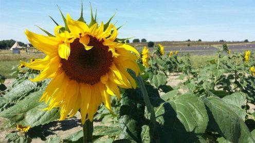Hitchin Lavender Sunflowers
