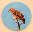 Juvenile Whistling Kite 1