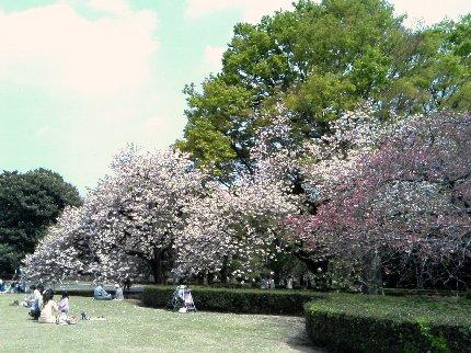 新宿御苑。八重桜が満開です