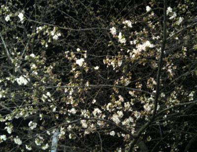 今日はこれくらい咲いてました(2008年3月22日夜撮影)