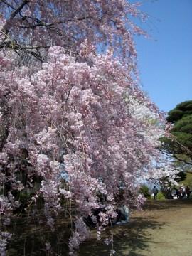 レストハウス脇のヤエベニシダレ。しっかりしたピンク色のシダレザクラです。