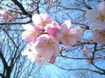 新宿御苑・ヨウコウ(2009年3月17日撮影)
