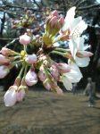 ソメイヨシノは咲き始め