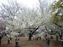 葉っぱも一緒に出てくるオオシマザクラ(2009年3月31日昼撮影)