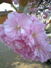 カンザン(2009年4月13日昼撮影)