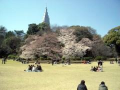 御苑の桜はこんな感じ(2009年4月2日撮影)