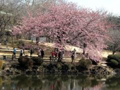 修善寺寒桜(テラスハウス前)(1)