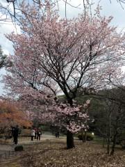 寒桜(2)(日本庭園)