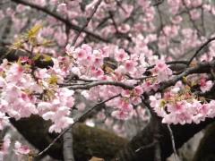 オオカンザクラ(桜園地)