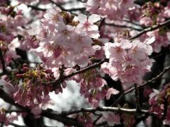 横浜緋桜(温室前)
