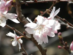 十月桜(管理事務所近く)