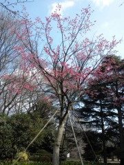 ヒマラヤ緋桜(管理事務所近く)