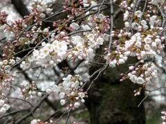 ソメイヨシノ(桜園地)