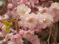 八重枝垂桜(新宿御苑・レストハウス脇、2010年4月9日撮影)