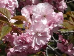 カンザン(新宿御苑・桜園地、2010年4月21日昼撮影)