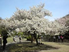コトヒラ(全体、新宿御苑・日本庭園、2010年4月21日昼撮影)