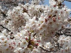 満開のソメイヨシノ(新宿御苑、2010年4月6日撮影)
