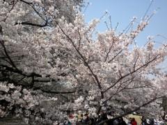 満開のソメイヨシノ(新宿御苑、中央休憩所付近、2010年4月6日撮影)
