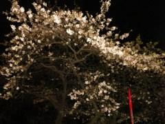 夜のソメイヨシノ 1 (2011年3月31日撮影)