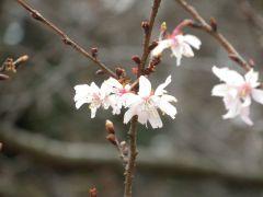 十月桜(管理事務所前)