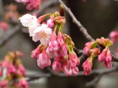 寒桜(レストハウス裏)