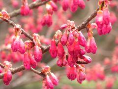 寒緋桜(下の池)