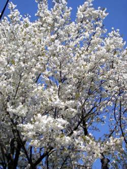 近くの公園で咲いてる桜
