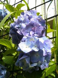 紫陽花(2007年6月15日撮影