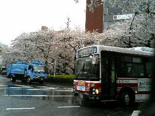 冷たい雨の中、桜は満開