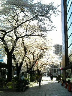 駅前の桜。逆光で朝日に桜が輝いてきれいだったのですが…