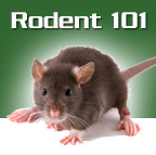 Rodent trapping and removal in Florida