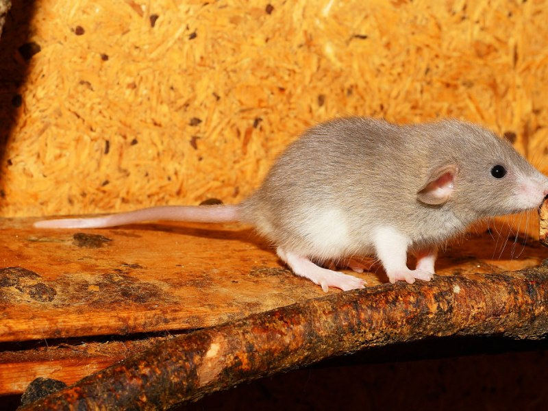 Can Rats Use A Wheel?