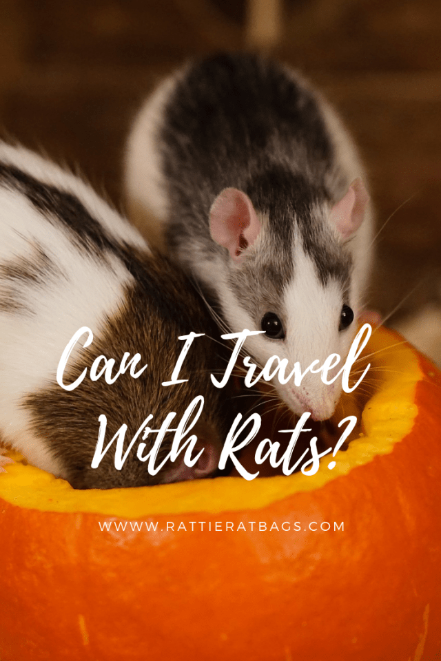 Can I Travel With Rats - www.rattieratbags.com