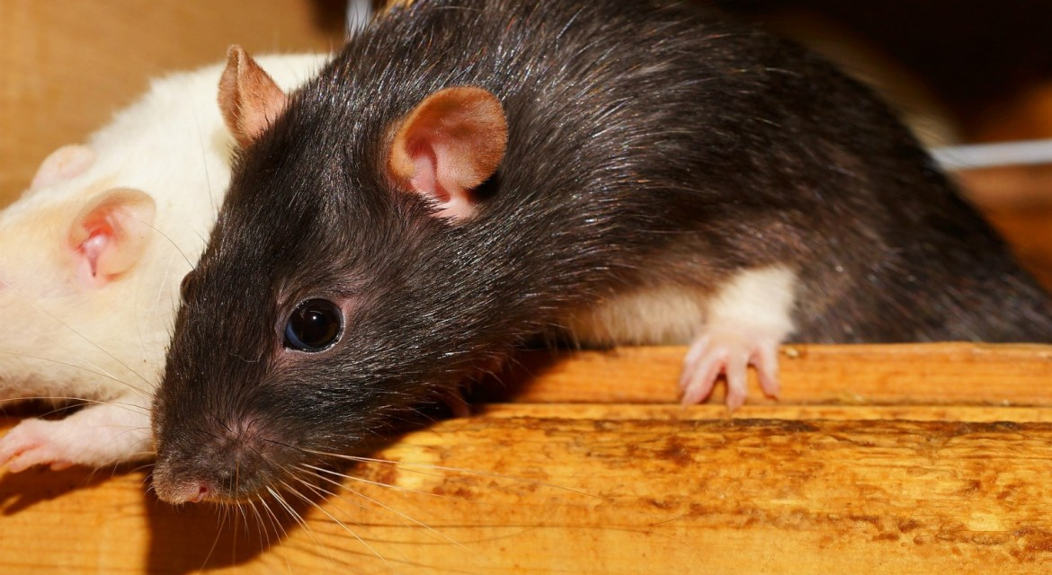 Can I Keep Rats and Other Pets?