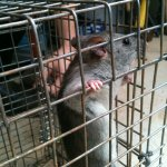 rat trapped alpharetta