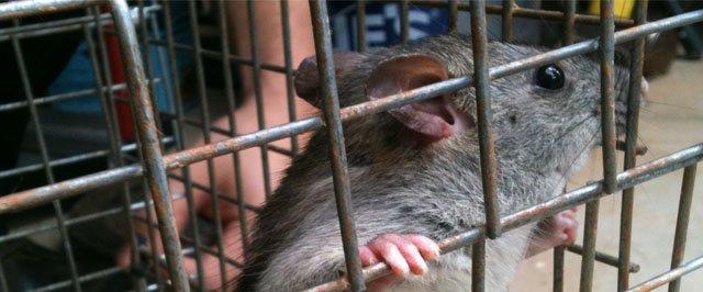 Rat trapped in Alpharetta Attic
