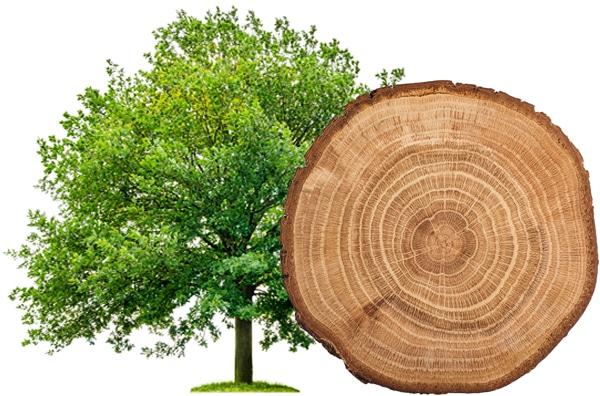Eichen Rauchsalz Baum und Scheibe
