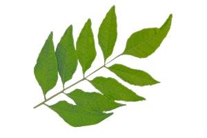 Zweig Curryblätter