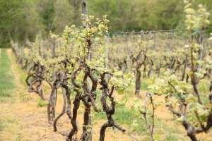 Grape vines in Put-in-Bay