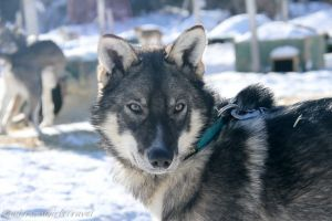 Husky Sled Dog with Light Eyes