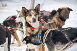 Blue eyed Husky sled dog waiting with pack
