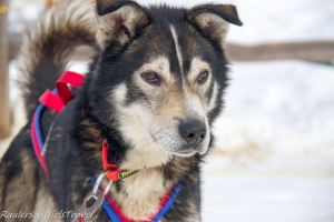 Brown eyed husky sled dog